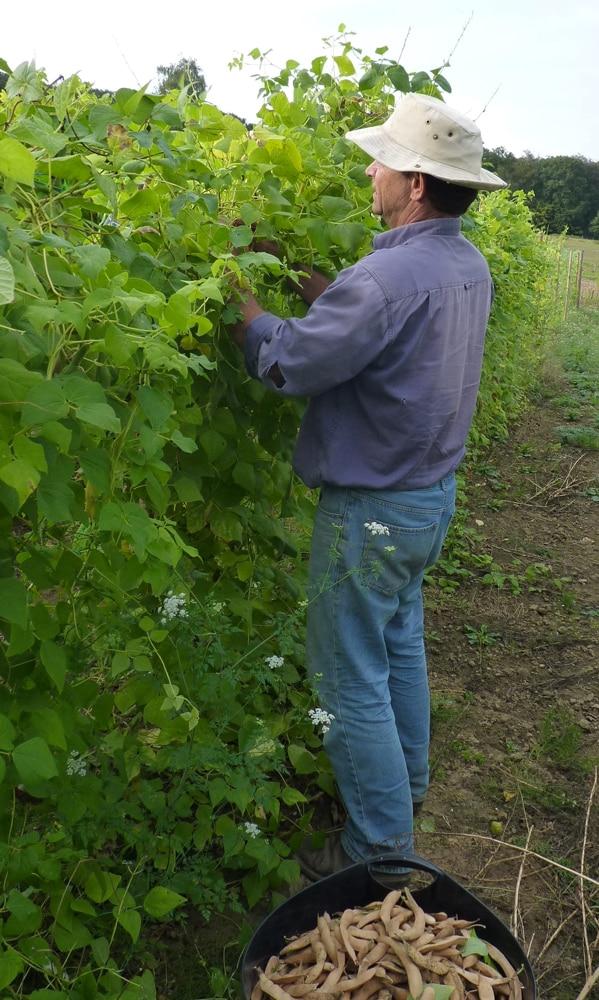 la cueillete des premières gousses de haricot de Soissons